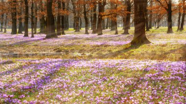 blooming purple crocus carpet in morning forest