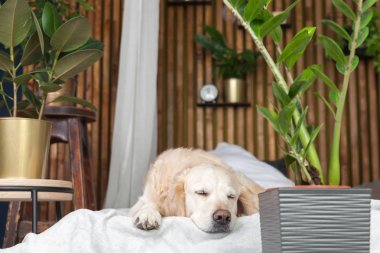 Golden retriever dog on bed with pillows posing in room in loft style