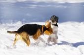 Fotografia Beagle e jack cucciolo del terrier di russell che giocano nella neve a winter park