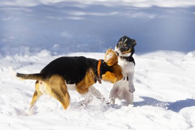 beagle and jack russell terrier puppy playing in snow in winter park