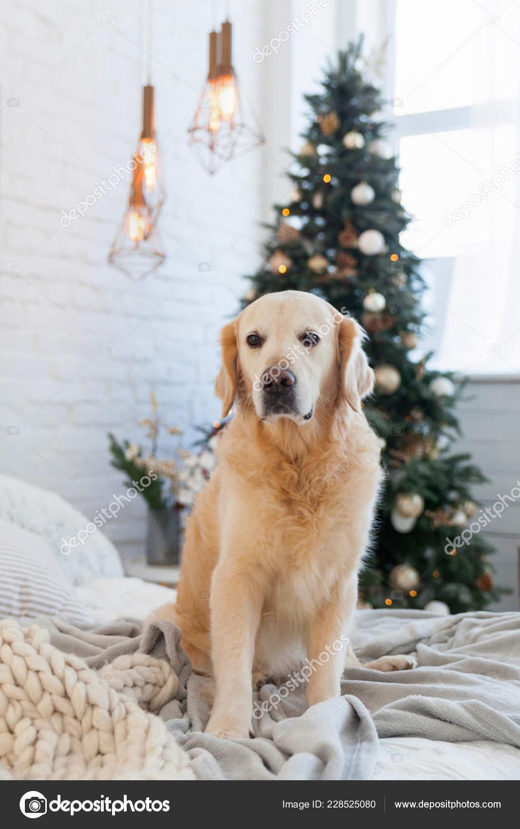 Golden Retriever Puppy Dog Pastel Light Knitted Coat Christmas Tree Stock Photo C Prystai 228525080