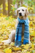 Adorable golden retriever dog wearing chic wool scarf on fallen yellow leaves. Autumn in park. Pets care concept. Vertical, selective focus, copy space.