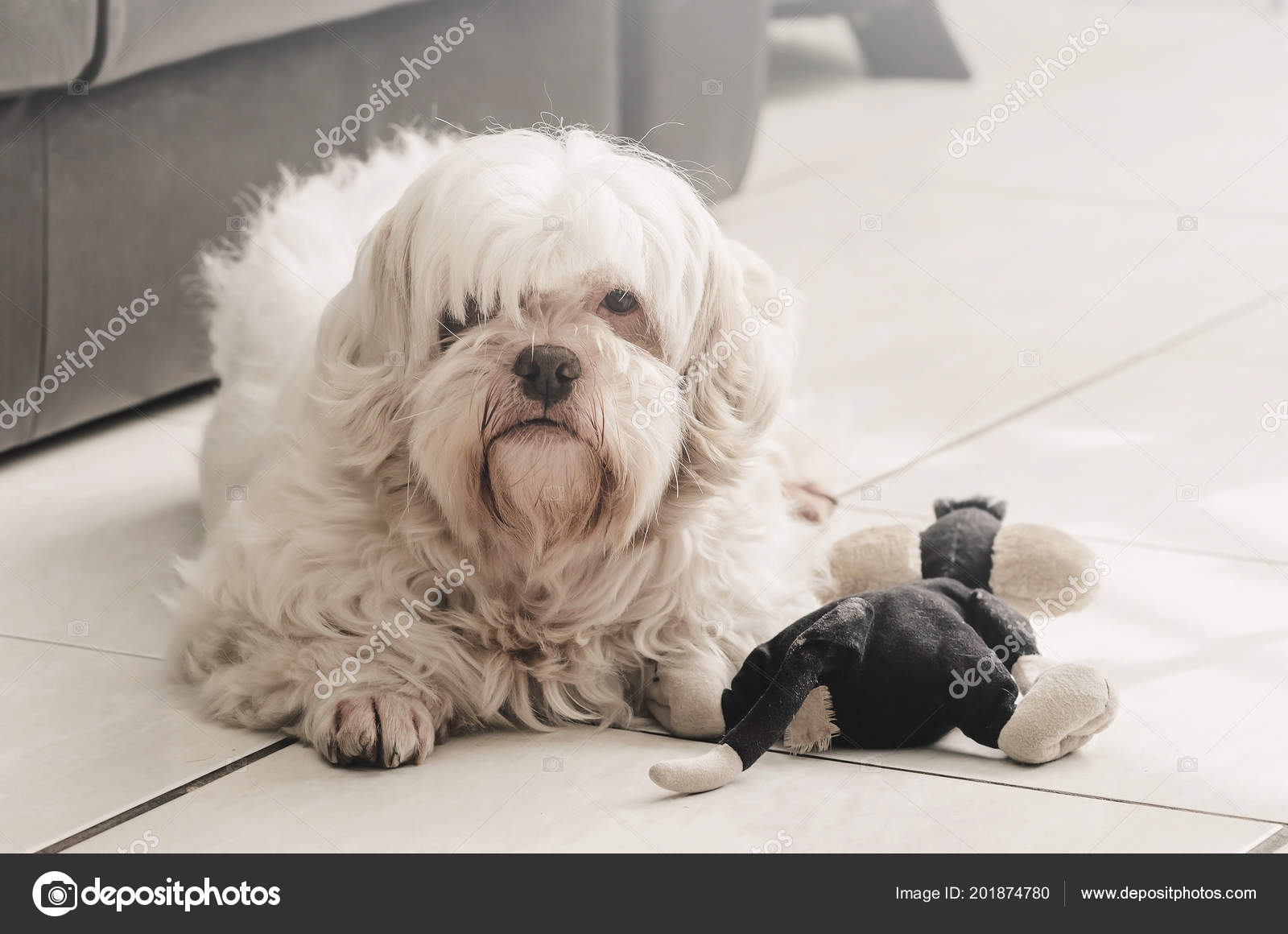 Furry White Dog Ground His Teddy Toy Side Stock Photo