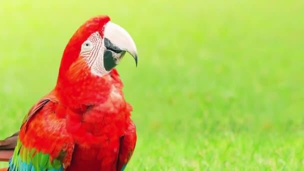 Boldog arapapagájt táncol és rázza a fejét. Piros madár a természet hátterét, helyet a szöveges. Looping animáció.
