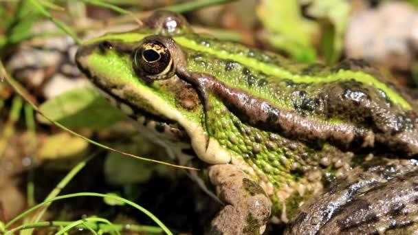 ein grüner, gestreifter Frosch versteckt sich im Gras am Fluss und wartet auf seine Beute.