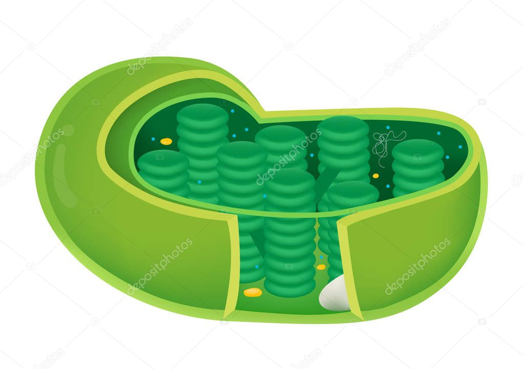 Structure of Chloroplast in cell