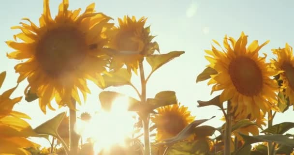 Field With Rows Of Sunflowers At Sunset. Prores, Slow Motion