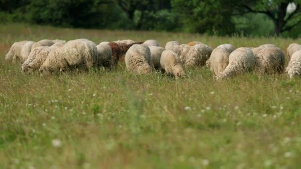 mnoho ovcí požahuje na hřišti, stádo bahnin, které jedí zelenou trávu, léto slunečné počasí