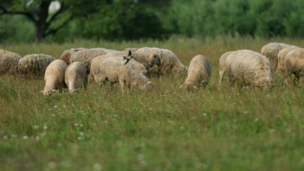 viele Schafe grasen auf dem Feld, eine Schafherde frisst grünes Gras, Sommer sonniges Wetter