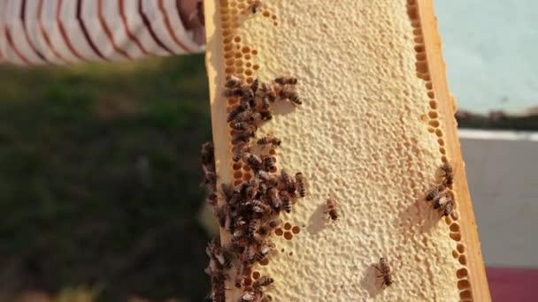 Honey bees crawl on honeycombs. A honeycomb full of honey
