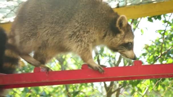 Raccoon walks on the stairs in zoo. Animals captivity. Funny world of fauna