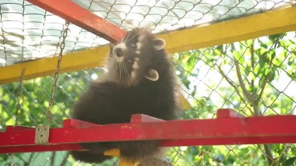 Raccoon sits on ladder in zoo. The animal turns its head, a cute creature.