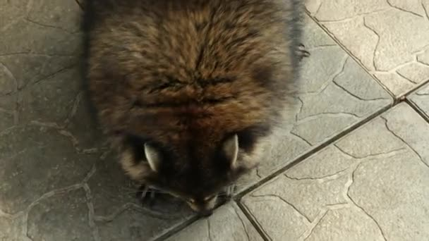 Raccoon is a genus of carnivorous mammals. Funny beast in the park, cage