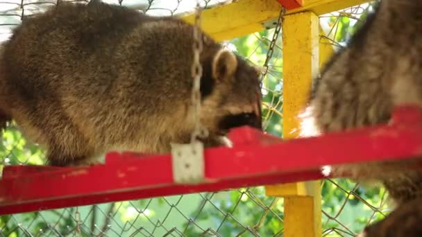 Two raccoons walk down the zoos bright staircase. Animals in captivity. Fauna
