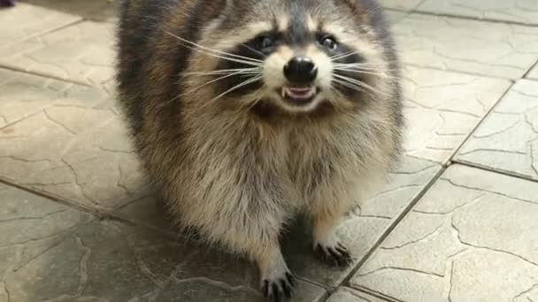 Cute raccoon looks at the camera and shows teeth. Close-up. Fauna. Turns head.