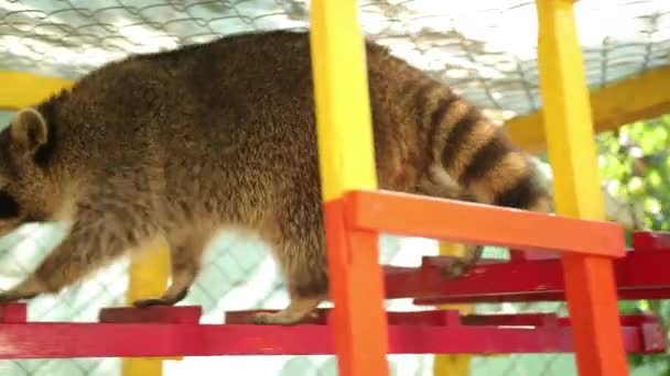 A raccoon walks down the zoos colored staircase. Animals in captivity. Fauna