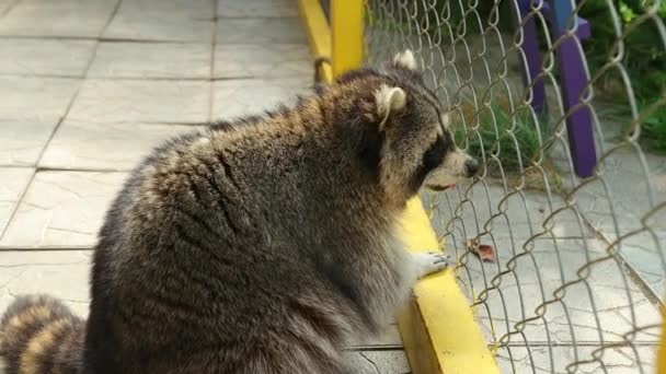 Raccoon looks through net of a zoo cage at will. Animals in captivity. Fluffy