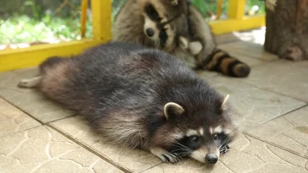 Raccoon lying on tile of an aviary in zoo carefully looks to side and breathes