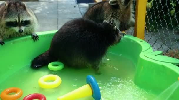 Group of funny raccoons play with toys in green basin water. Fun games animal