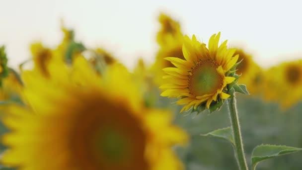 Slunečnicové pole v létě při západu slunce