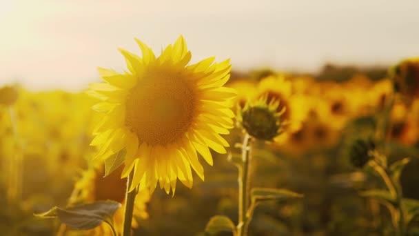 Sunflower field in summer at sunset
