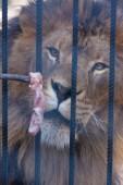 Fotografie Lev zoo. Lev žere maso v zajetí. predátor a kořist. orientace vertikální list