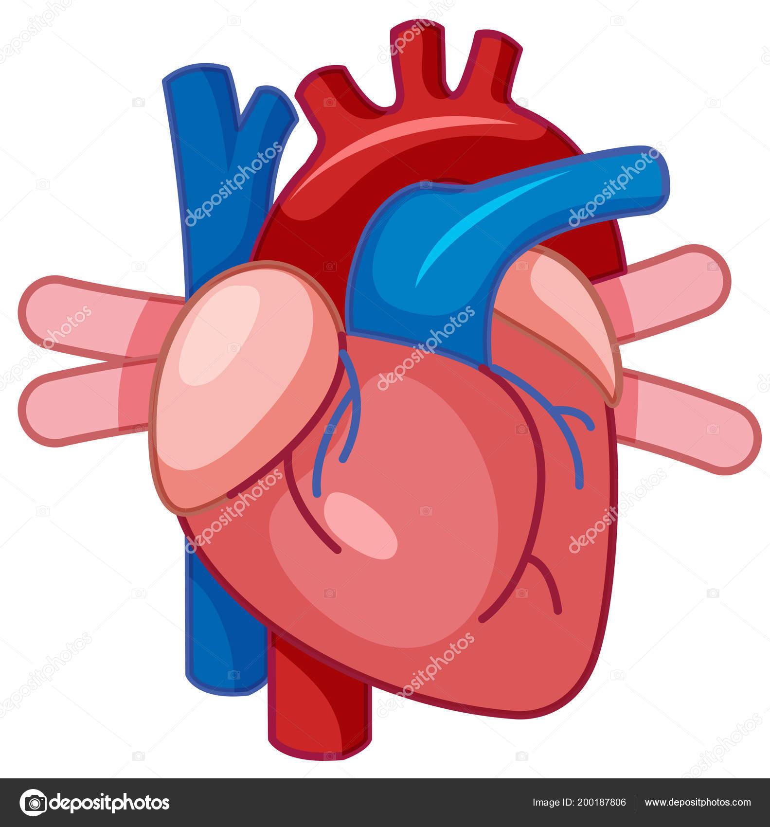 Una Ilustración Dibujos Animados Corazón Humano Vector De Stock