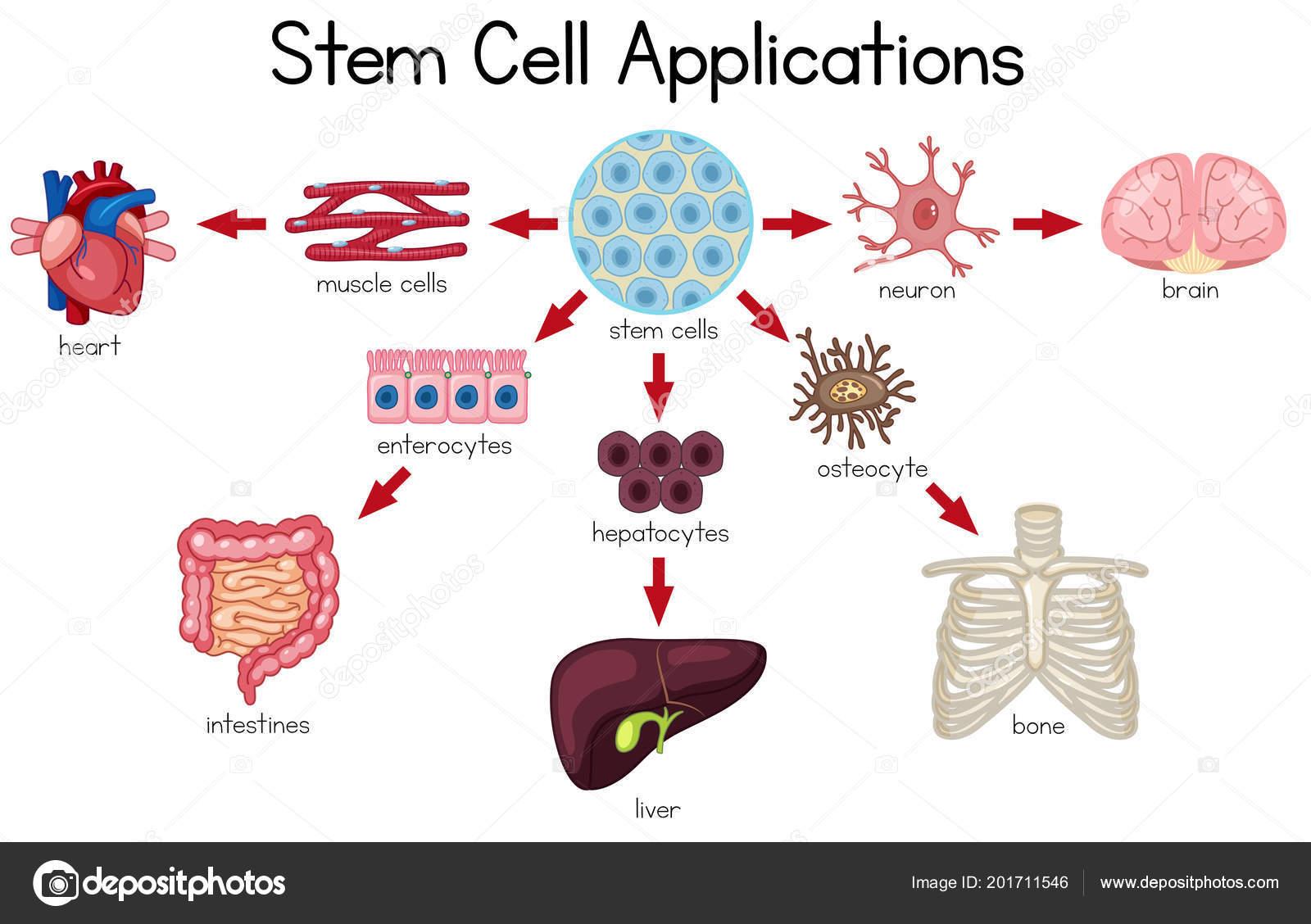 Stem cell applications diagram illustration vetores de stock stem cell applications diagram illustration vetores de stock ccuart Images