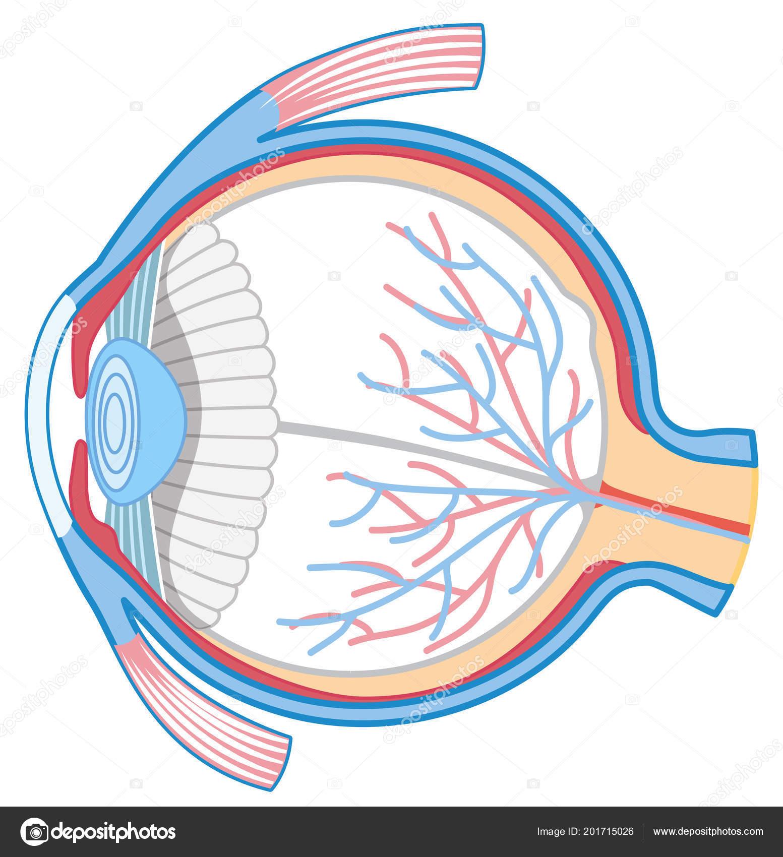 Anatomy Human Eye Illustration Stock Vector Brgfx 201715026