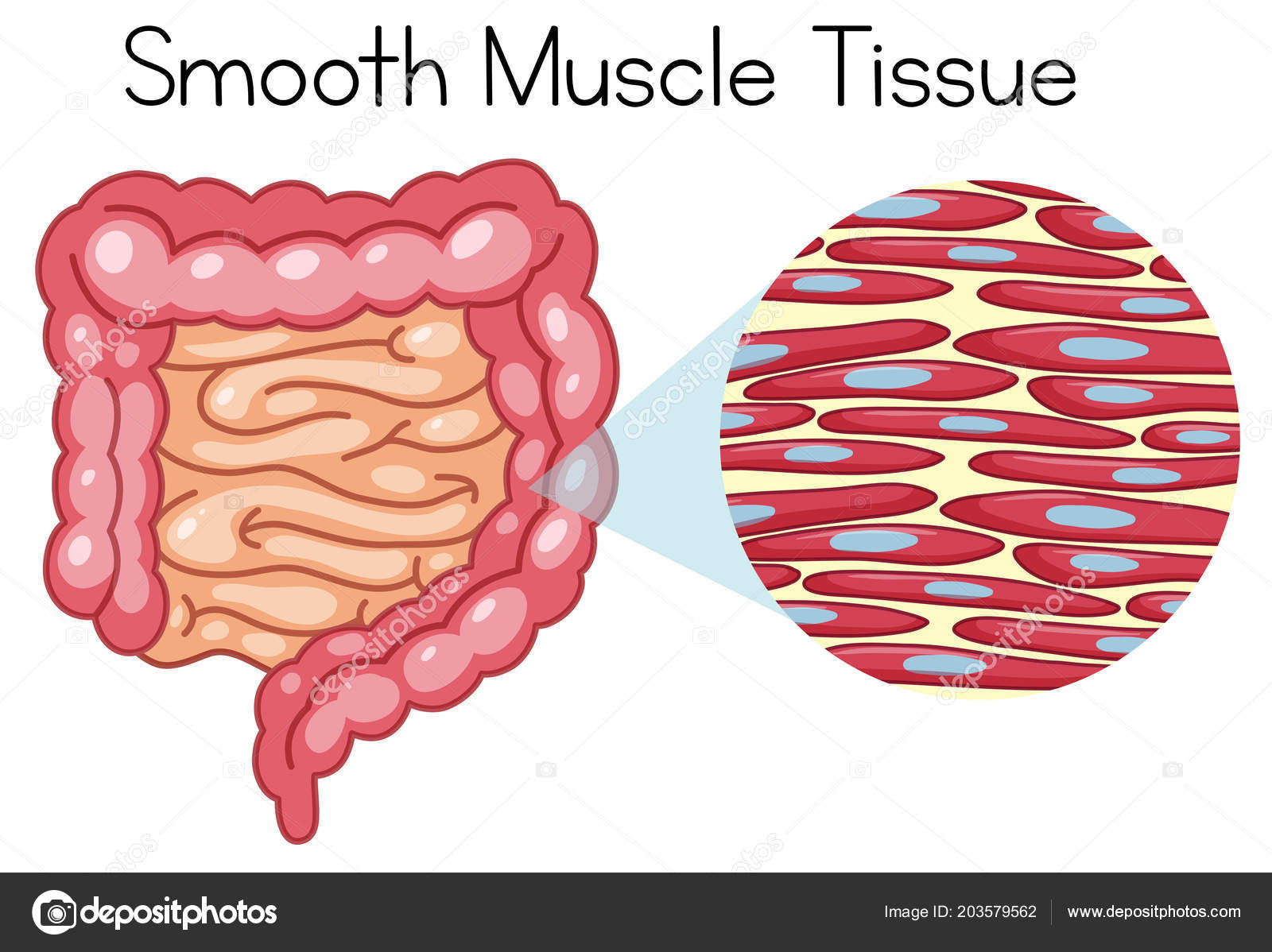 Anatomy Smooth Muscle Tissue Illustration Stock Vector Brgfx