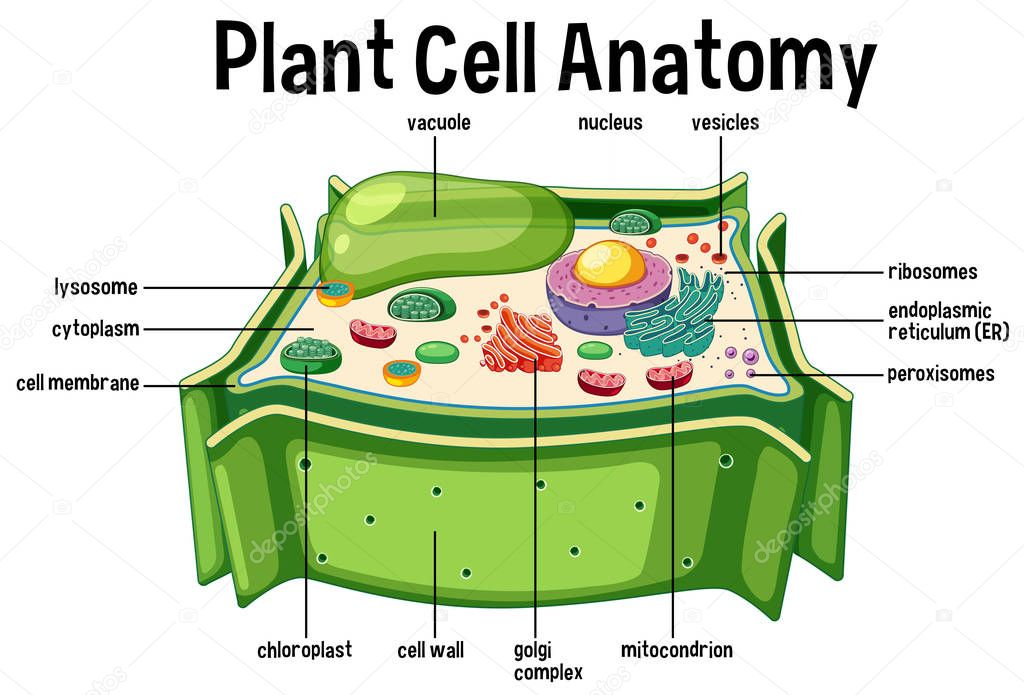 Plant cell labeled diagram | Plant Cell Anatomy Diagram ...