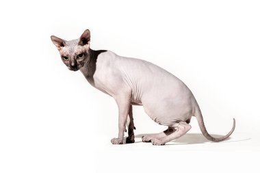 adorable domestic sphynx cat looking at camera on white