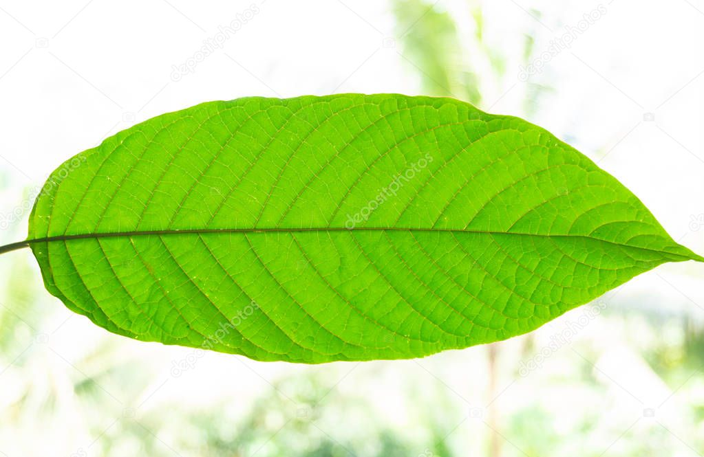Kratom (Mitragyna speciosa) Mitragynine, Drugs and Narcotic
