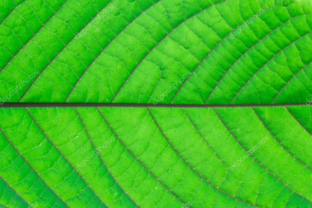 detail of green mitragyna speciosa leaves texture,Thailand.