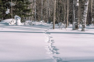Traces of a hare in the snow. Traces of animals in the forest in winter. Winter trail. T