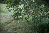albero con muschio sulle radici in una foresta verde o muschio sul tronco dalbero. Corteccia di albero con muschio verde. Natura di Azerbaijan. Messa a fuoco selettiva.