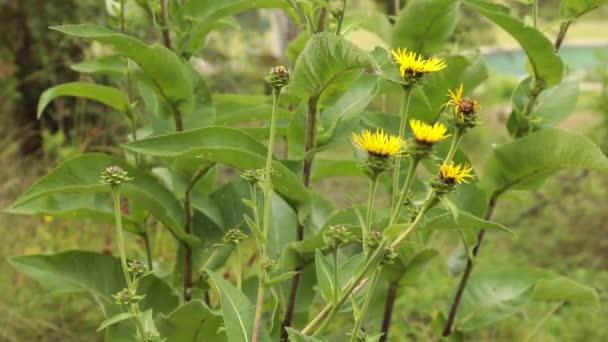 Zblízka pohled na kvetoucí žluté květy na přírodní zelené pozadí. Selektivní fokus