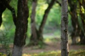 Fényképek fa, moha-zöld erdőben gyökerek vagy a moha, a fa törzse. Fakéreg zöld moha. Azerbajdzsán jellegét. Szelektív összpontosít.