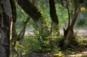 fa, moha-zöld erdőben gyökerek vagy a moha, a fa törzse. Fakéreg zöld moha. Azerbajdzsán jellegét. Szelektív összpontosít.
