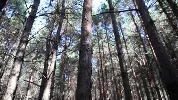 Erdei táj.Gyönyörű erdei természet. Magas, öreg fenyőfák.