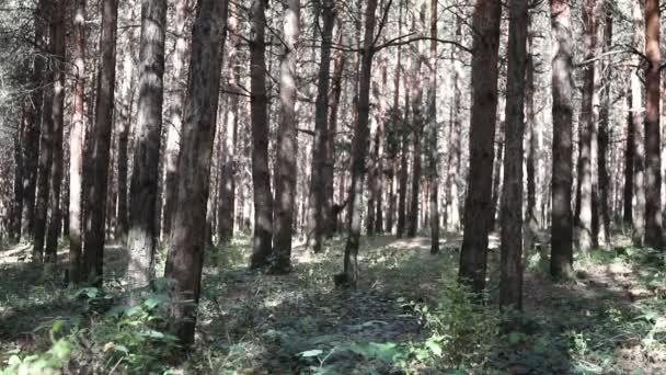Lesní krajina.Krásná lesní příroda. Vysoké staré borovice.