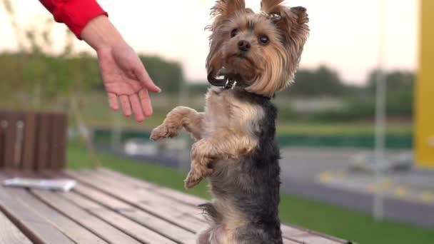 Ausbildung eines Hundes auf den Hinterbeinen
