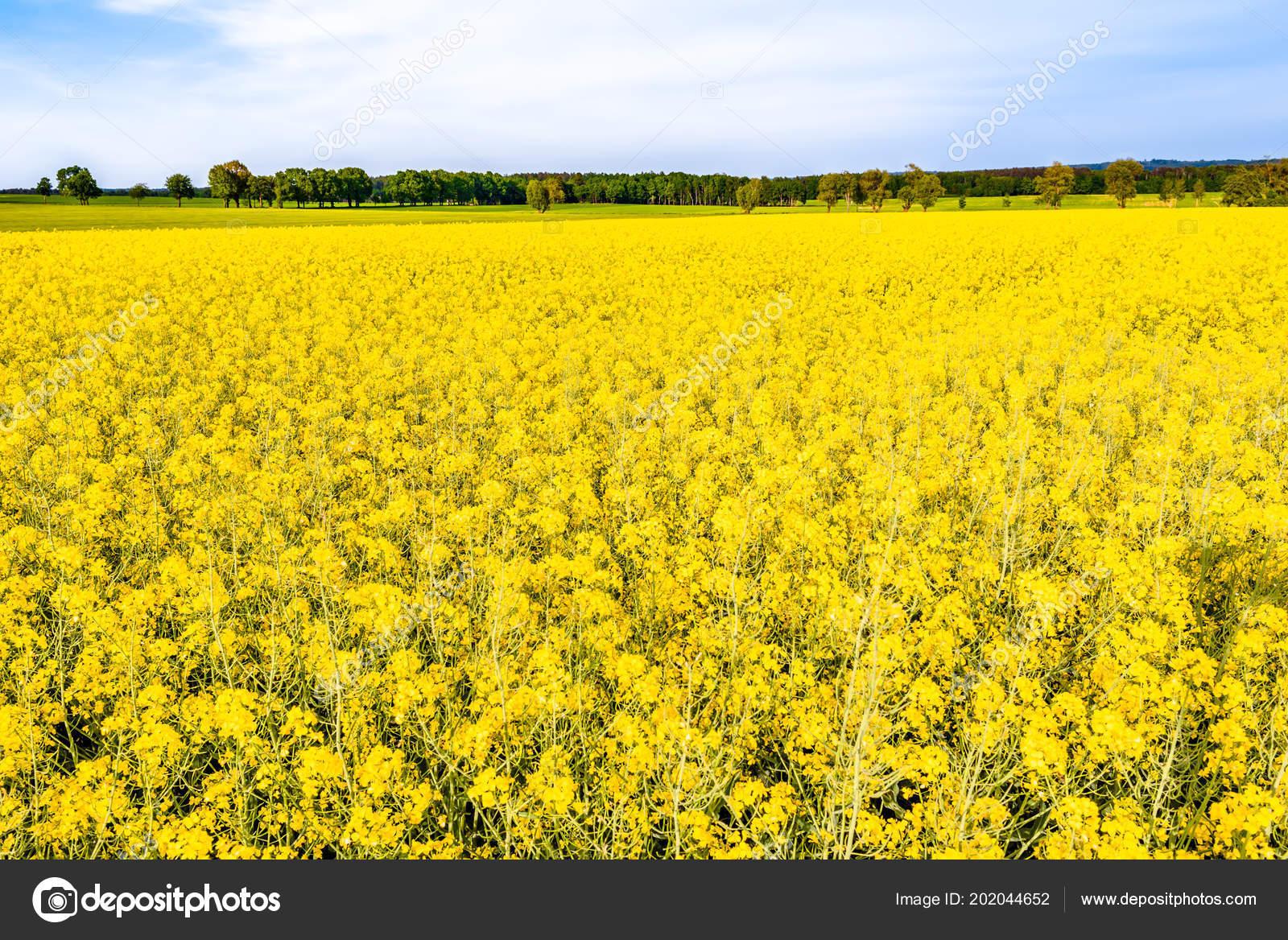 Blooming Rapeseed Fields Yellow Flowers Field Rape Farm Landscape
