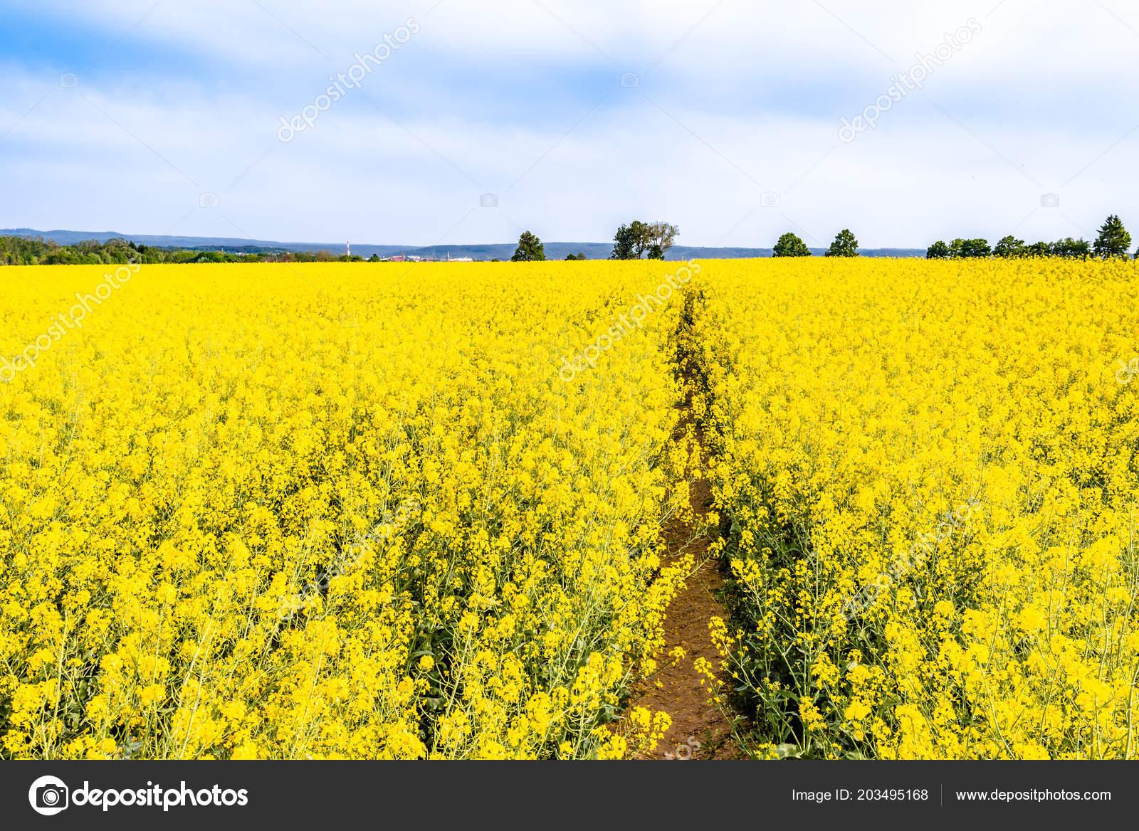 Rape field crop rapeseed farm landscape yellow flowers foto de rape field crop rapeseed farm landscape yellow flowers foto de stock mightylinksfo