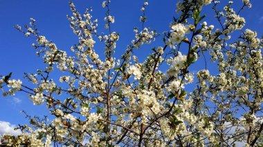 Blooming Sakura. Spring tree. Cherry flower. White and blue.