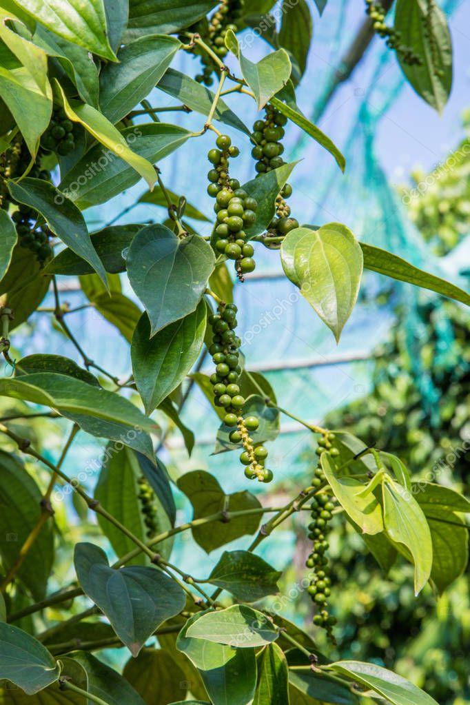 fresh pepper in the farming