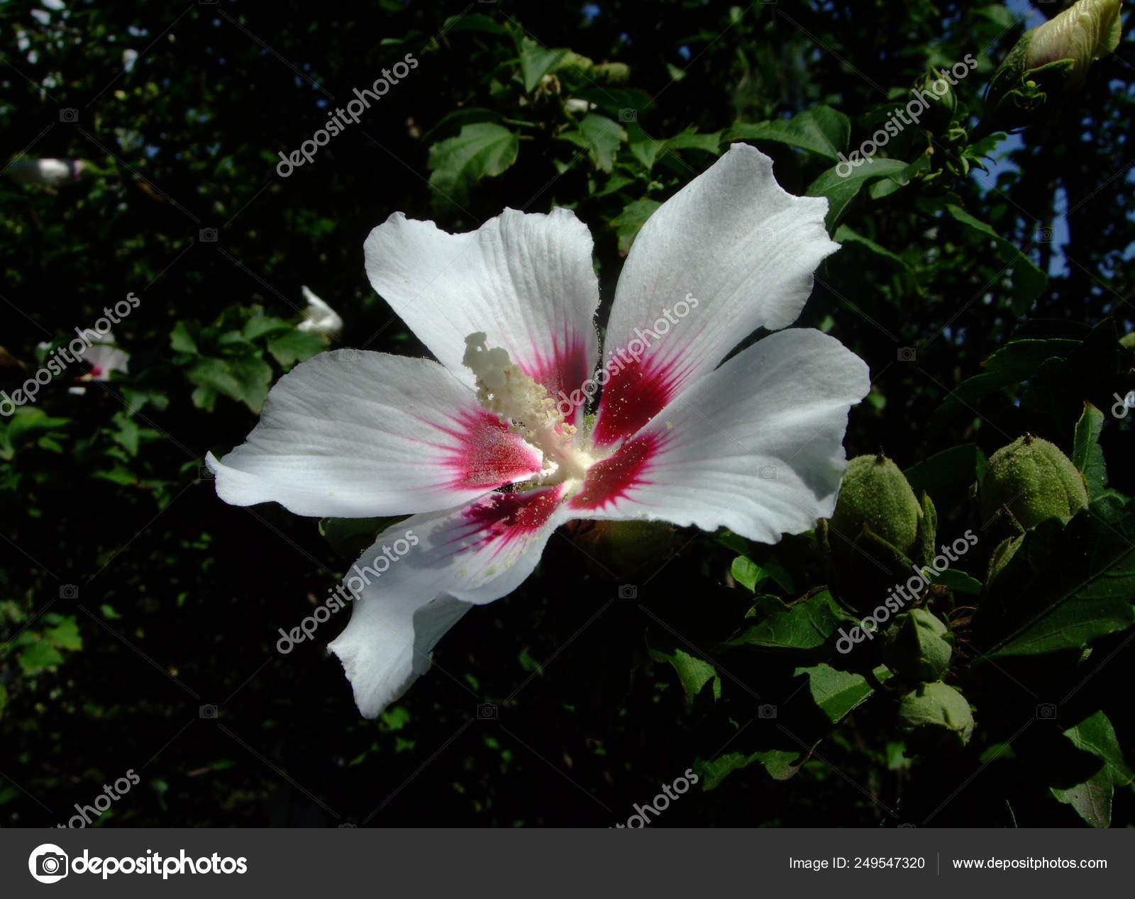 Hibiscus Flower In The Garden Detail Of The Stamen Stock Photo