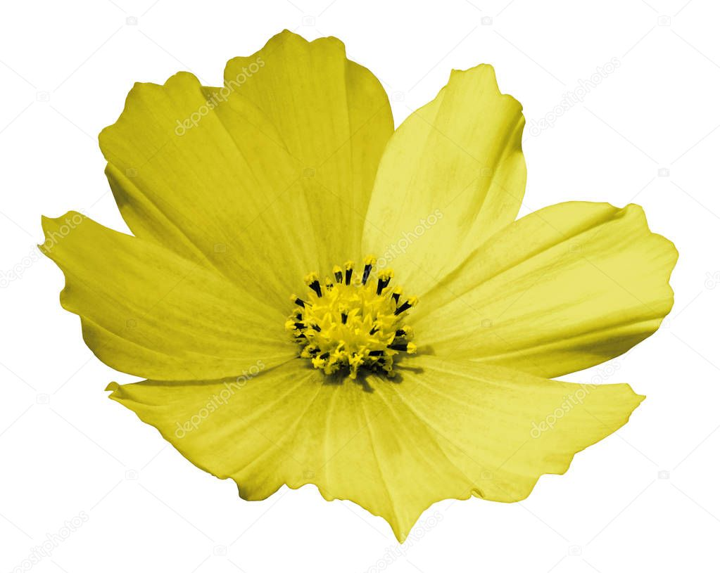 Yellow flower daisy white isolated  background  with  clipping path.  No shadows. Closeup.   Nature.