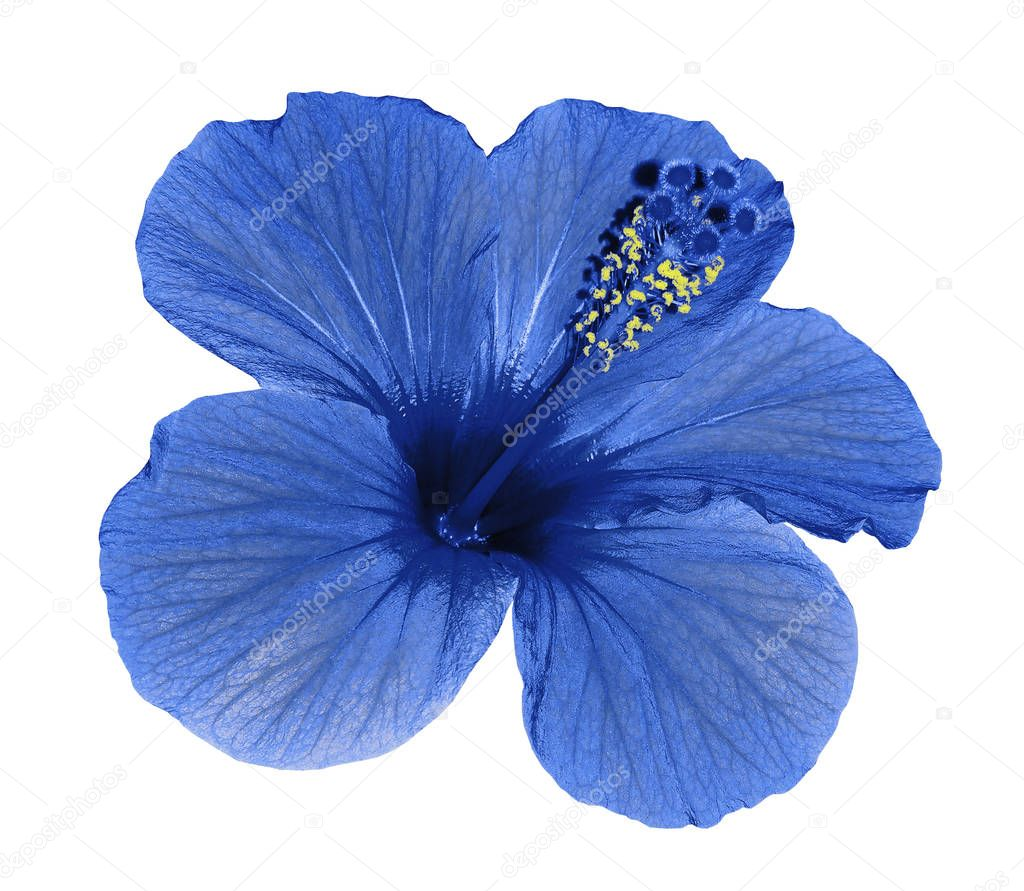 Blue flower of a Hibiscus on an isolated white background with clipping path. Closeup. No shadows.  Nature.