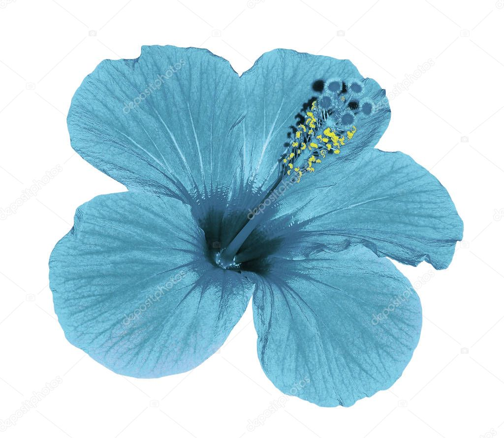 Turquoise flower of a Hibiscus on an isolated white background with clipping path. Closeup. No shadows.  Nature.